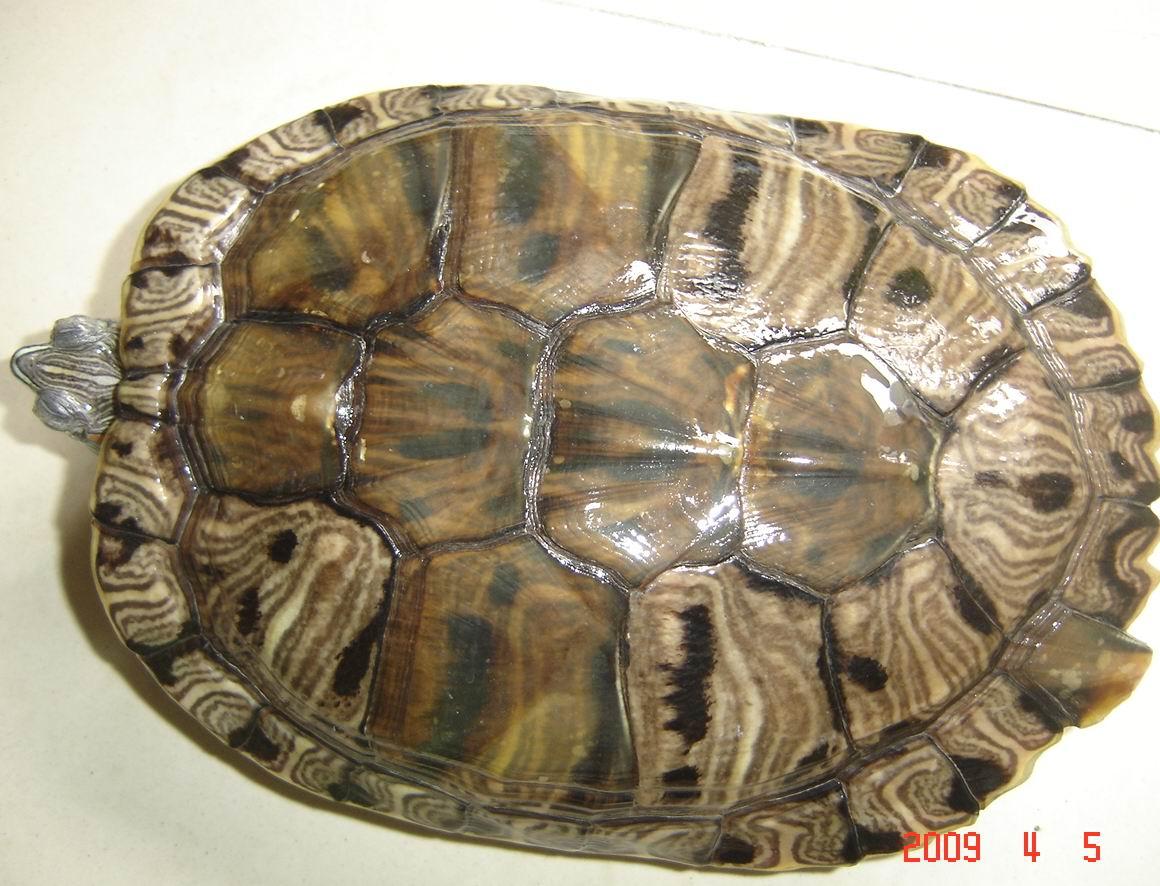 巴西龟如何分公母图片
