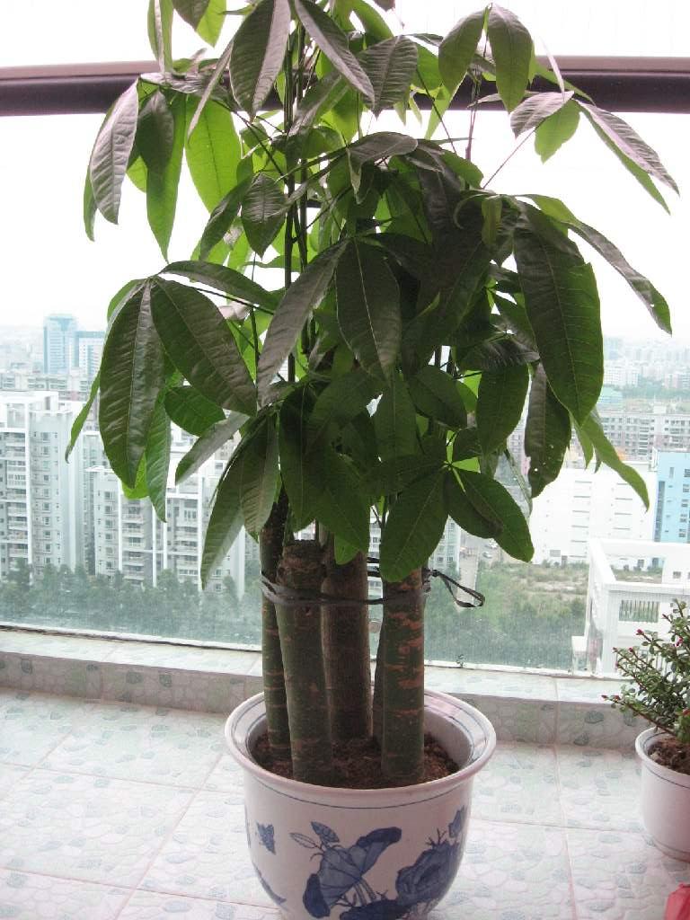 冬青树盆景养殖方法