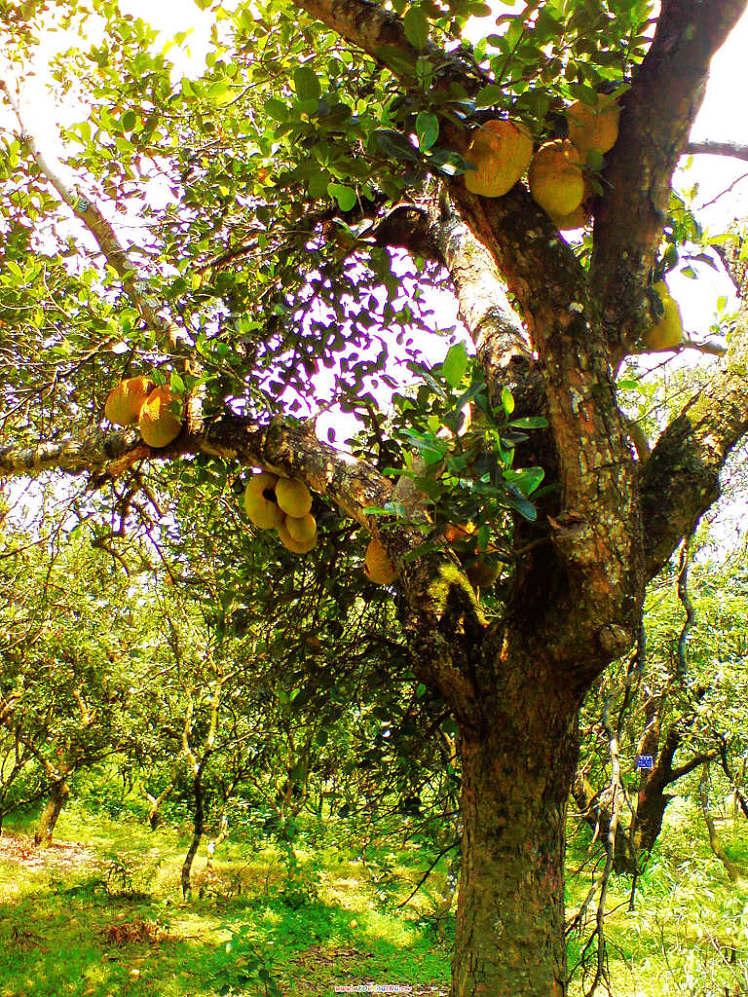 p;这是什么果树