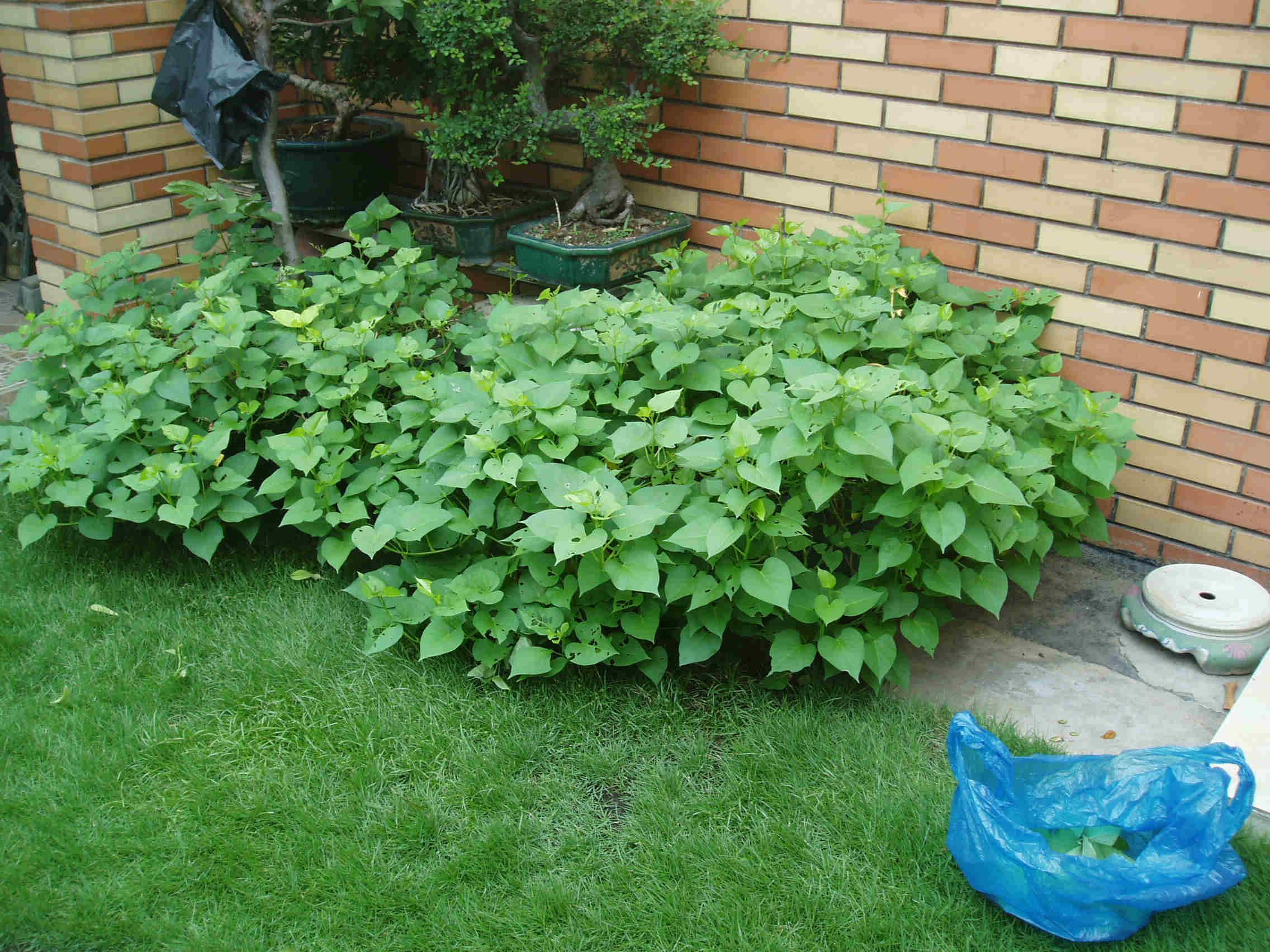 番薯苗也可以进口啦 . 楼顶菜园有收成啦 高清图片