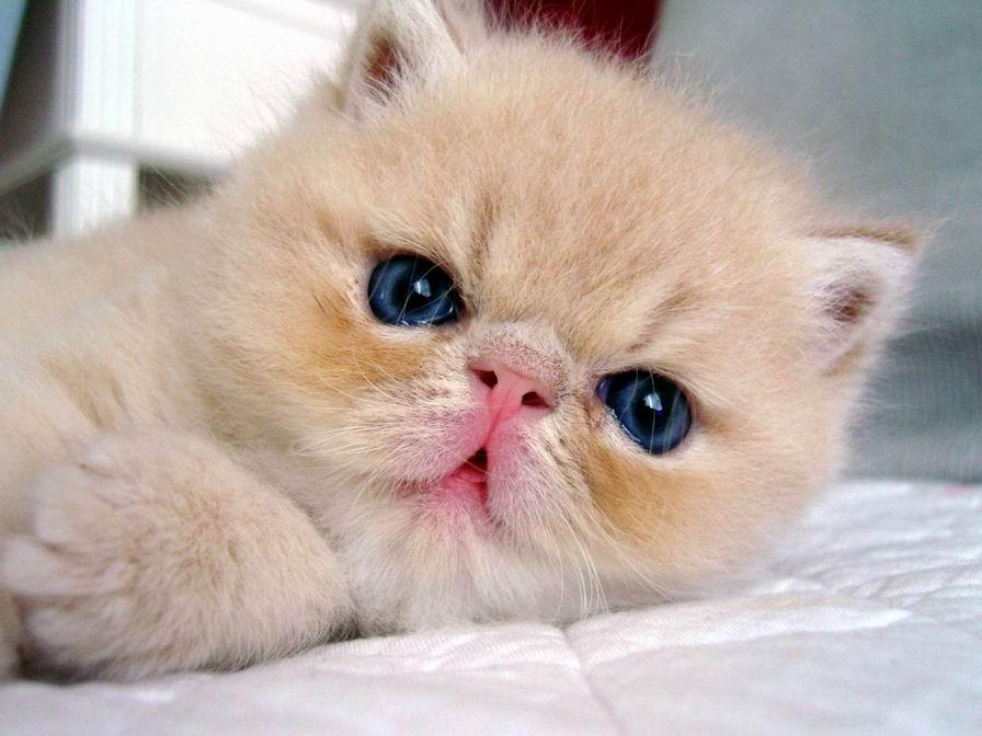 qq头像宠物猫 可爱