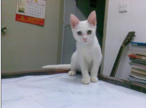 超可爱小白猫免费送养