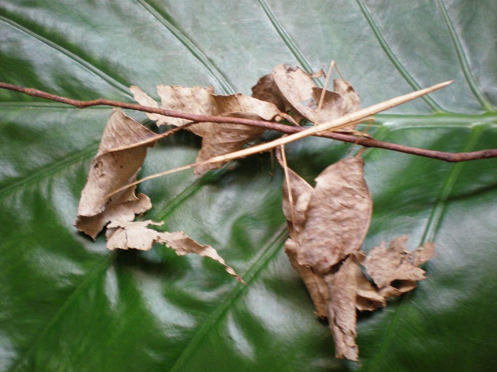 什么动物是和竹节虫一样的方法保护自己的