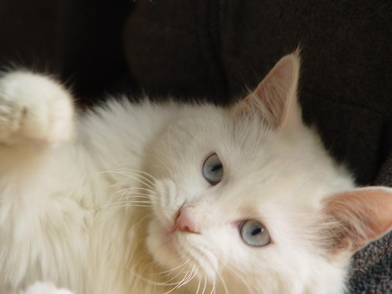 活泼可爱长毛白猫寻爱心人领养