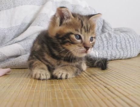 > 家养超级可爱的纯种美国短毛猫刚断奶