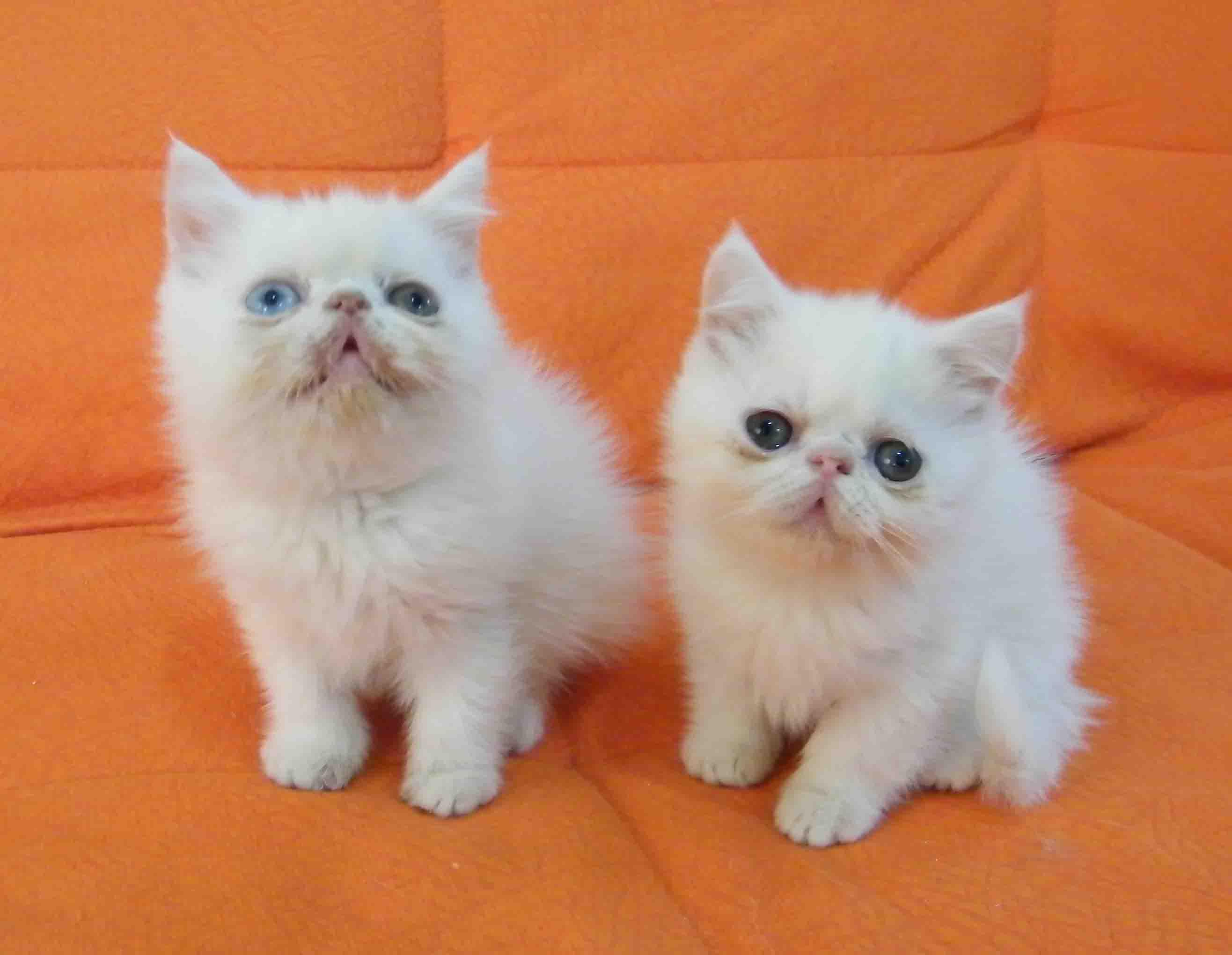 > 加菲猫,英国短毛猫,美国短毛猫1至2个月好可爱