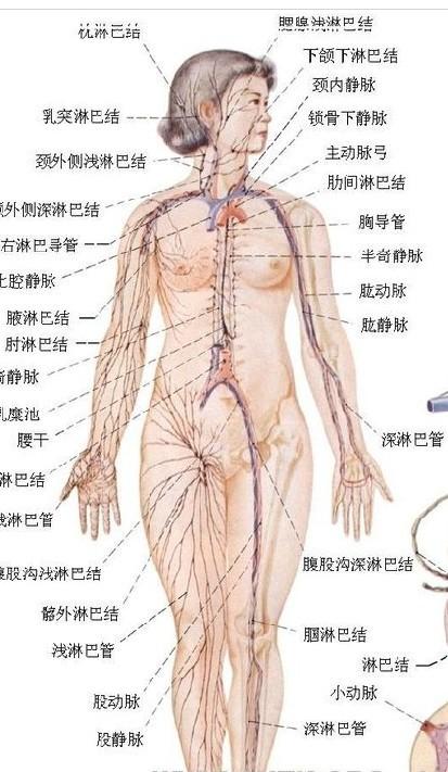 人体内部构造解剖图图片大全 人体内部结构图大全 医学图库