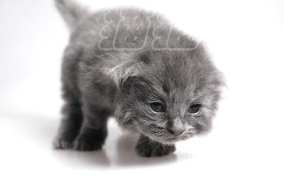 超可爱的折耳小蓝猫