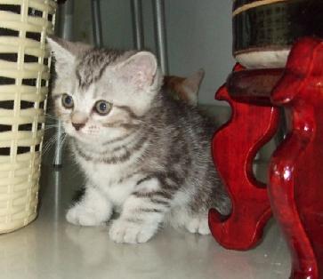 我家的可爱的小银虎斑找新家了