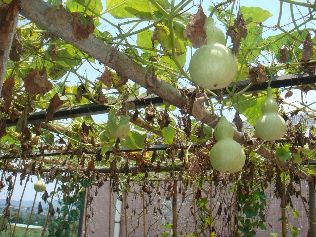 屋顶种什么果树好