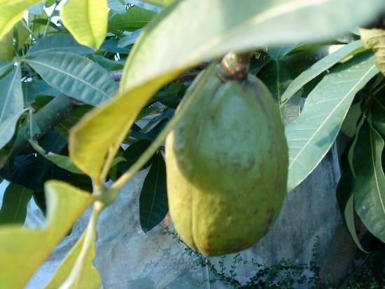 发财树的果实原来是这样的呀(内空)
