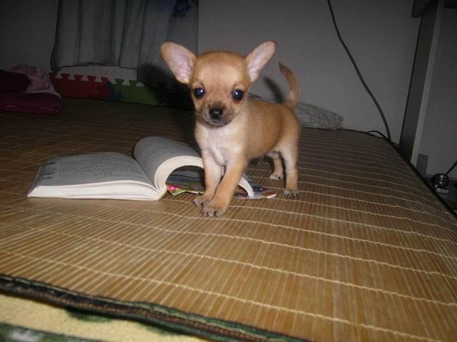 出售世界上最小的狗狗