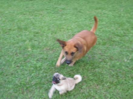 旺财和两只小狗在玩,不对,只是其中一只成年公狗想要泡旺财mm.图片