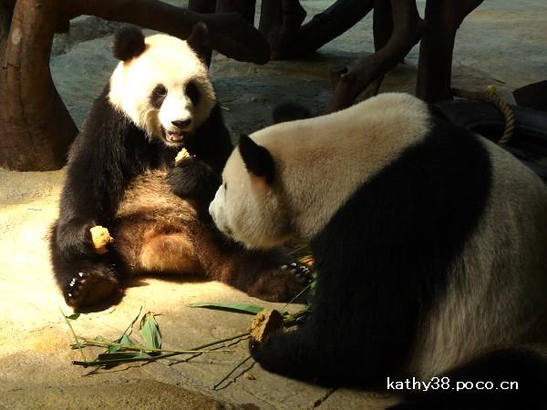 香江野生动物世界是动物的天堂,这里拥有着全世界最大的珍稀动物白虎