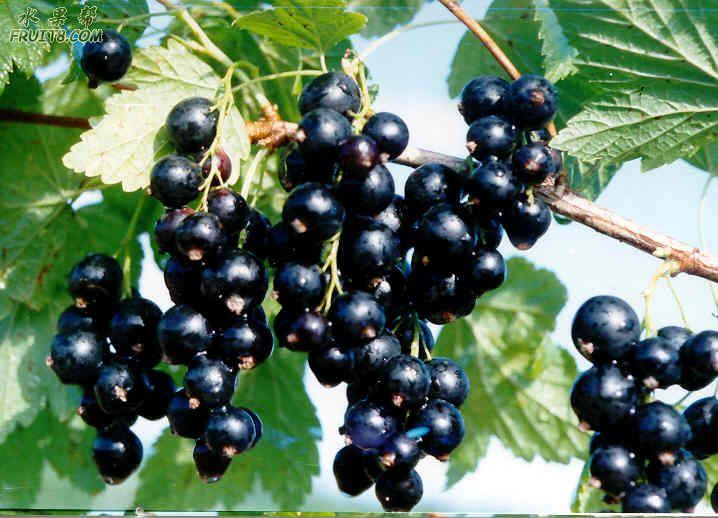 水果图片---百种水果大观园 - 墨舞斋主人 - 墨舞斋主人的蓝色空间