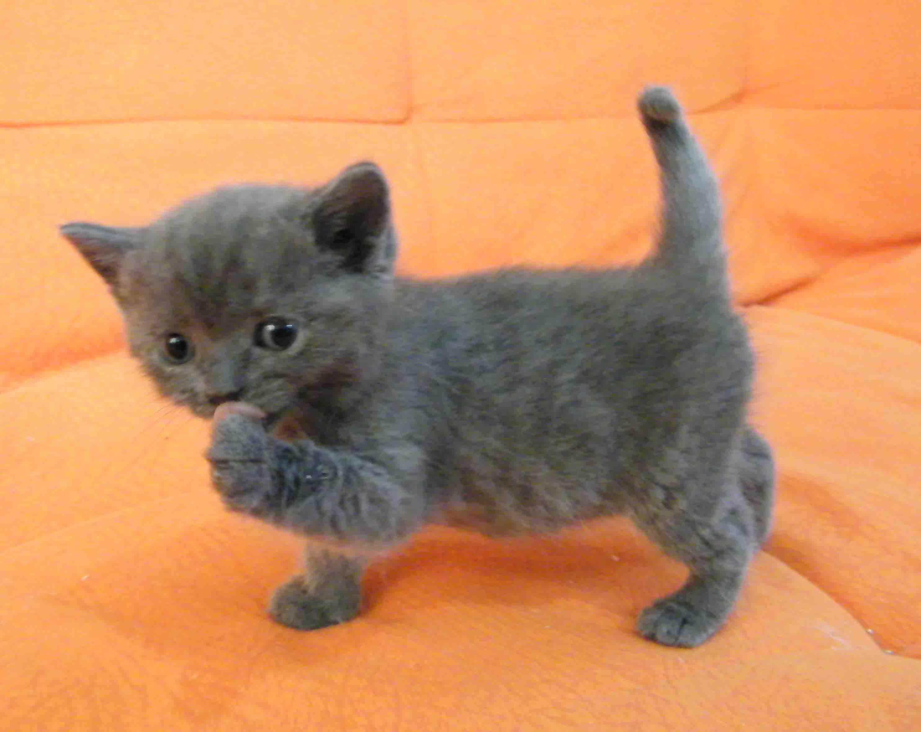 加菲猫,英国短毛猫,美国短毛猫1至2个月好可爱