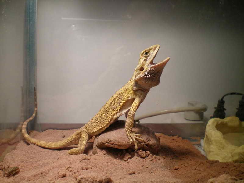 最可爱的宠物蜥蜴