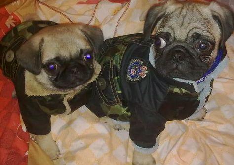 两只可爱的巴哥犬~谁要