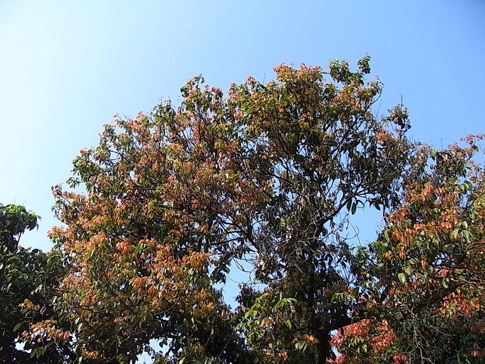 好多荔枝树都是红色的叶子