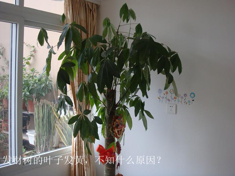 我家的发财树叶子发黄
