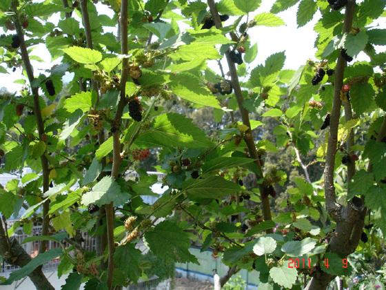 我家的桑树每年发芽长叶结果秋天和春天各有一次,秋天那次也许很快