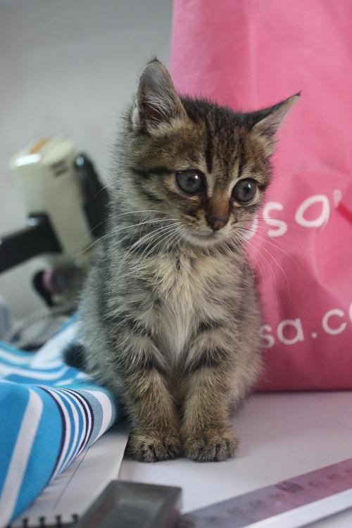 两只可爱的一个月大小猫免费待养!