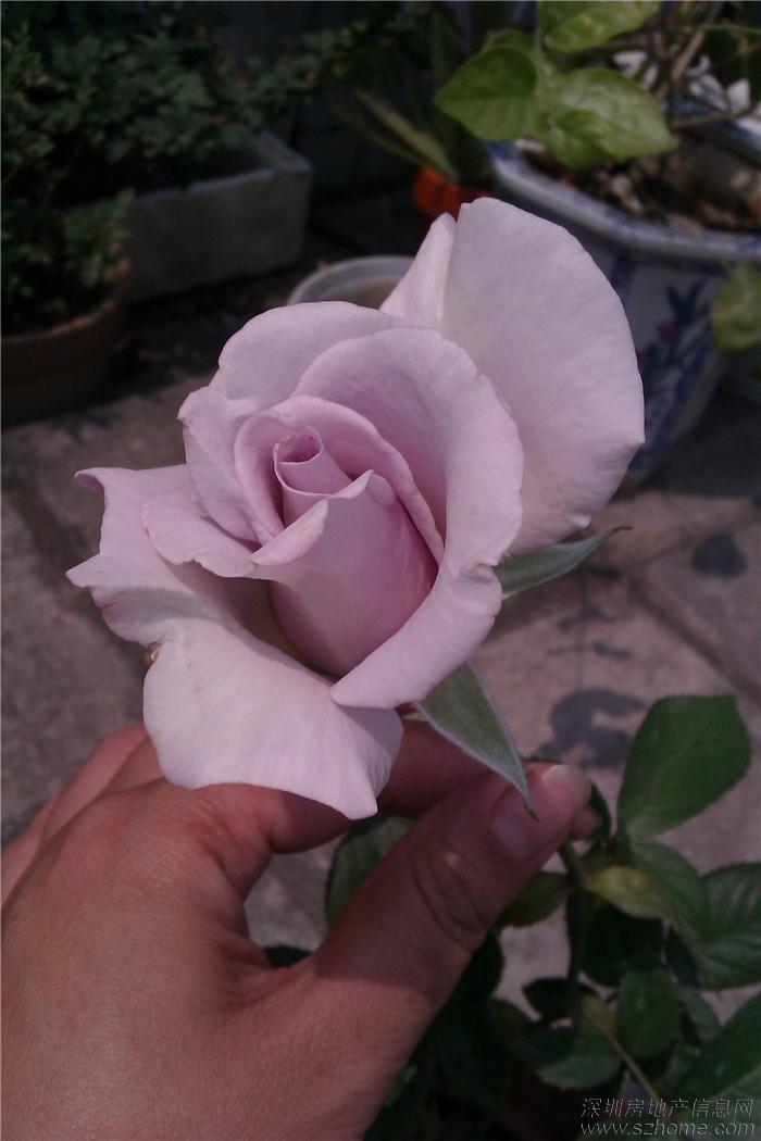 可乐丝带花制作图解