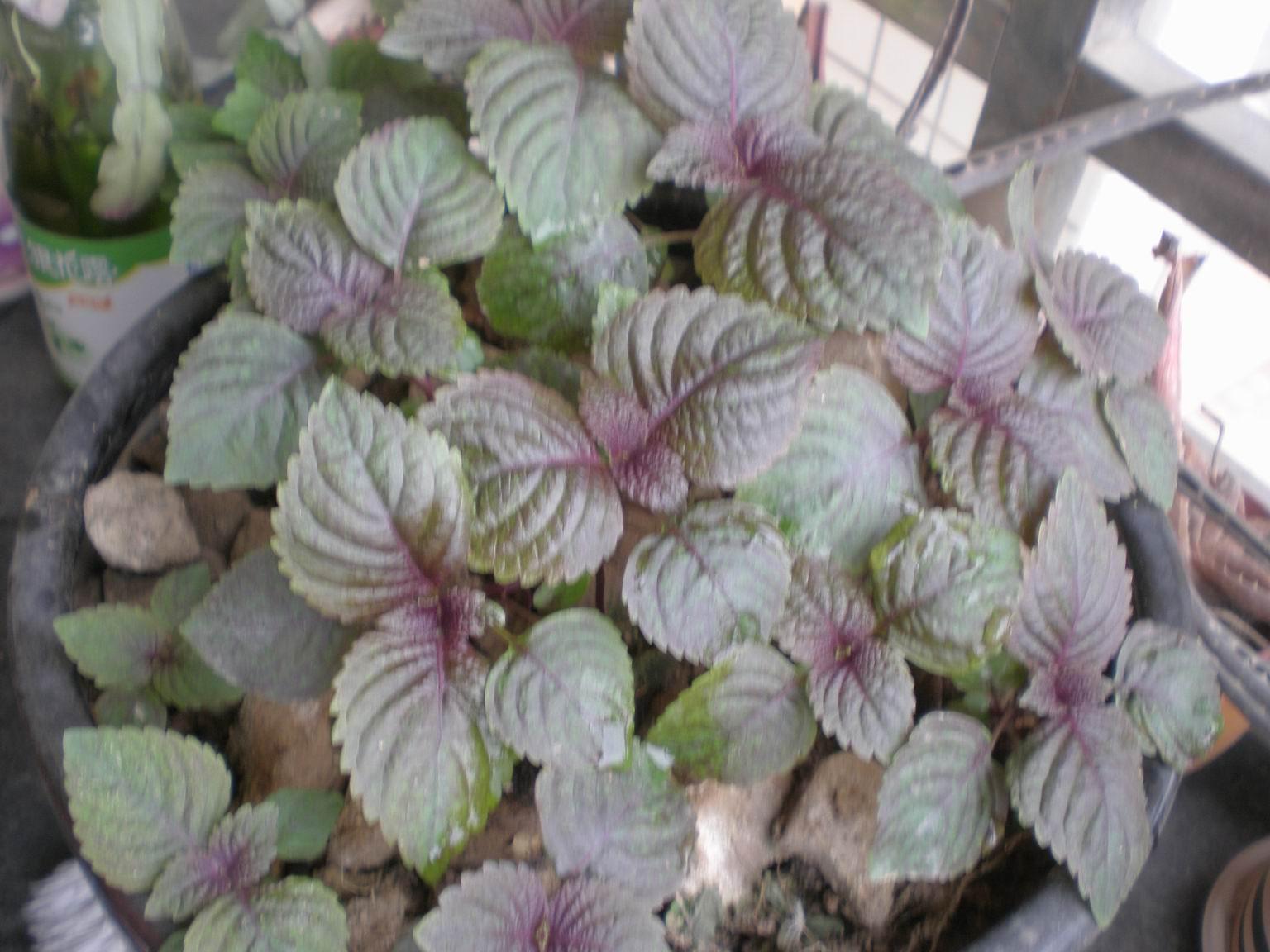 刚发芽的紫苏照片