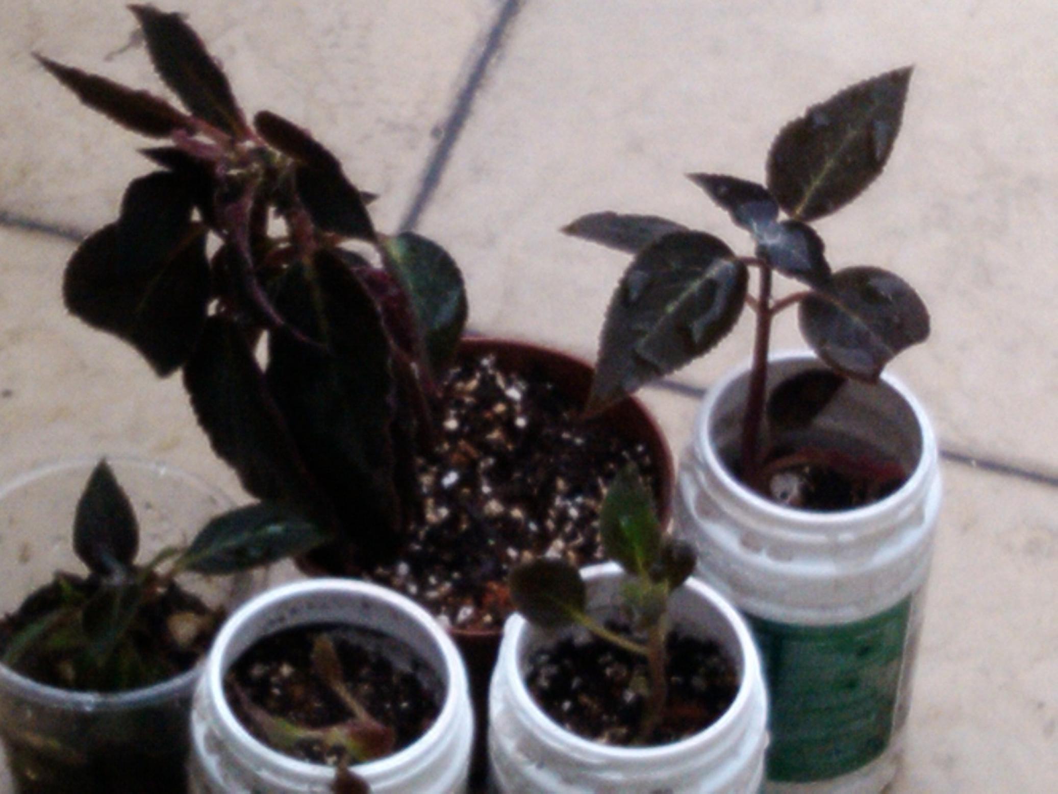 > 盛开的花猫等交换多肉十二卷属植物----万象,寿,玉扇,玉露等