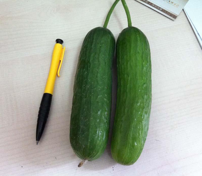 我也种了黄瓜,青瓜那种,长得很慢差不多20天了吧,才长10厘米左右,你的