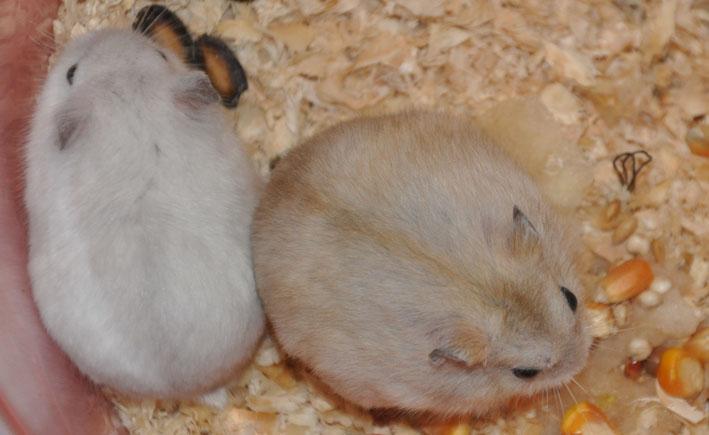仓鼠吃木屑图片