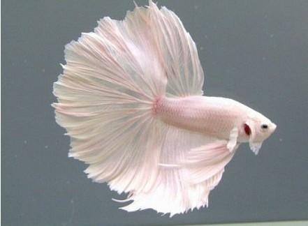 新娘鱼尹jf��_       穿婚纱的鱼,新娘鱼.