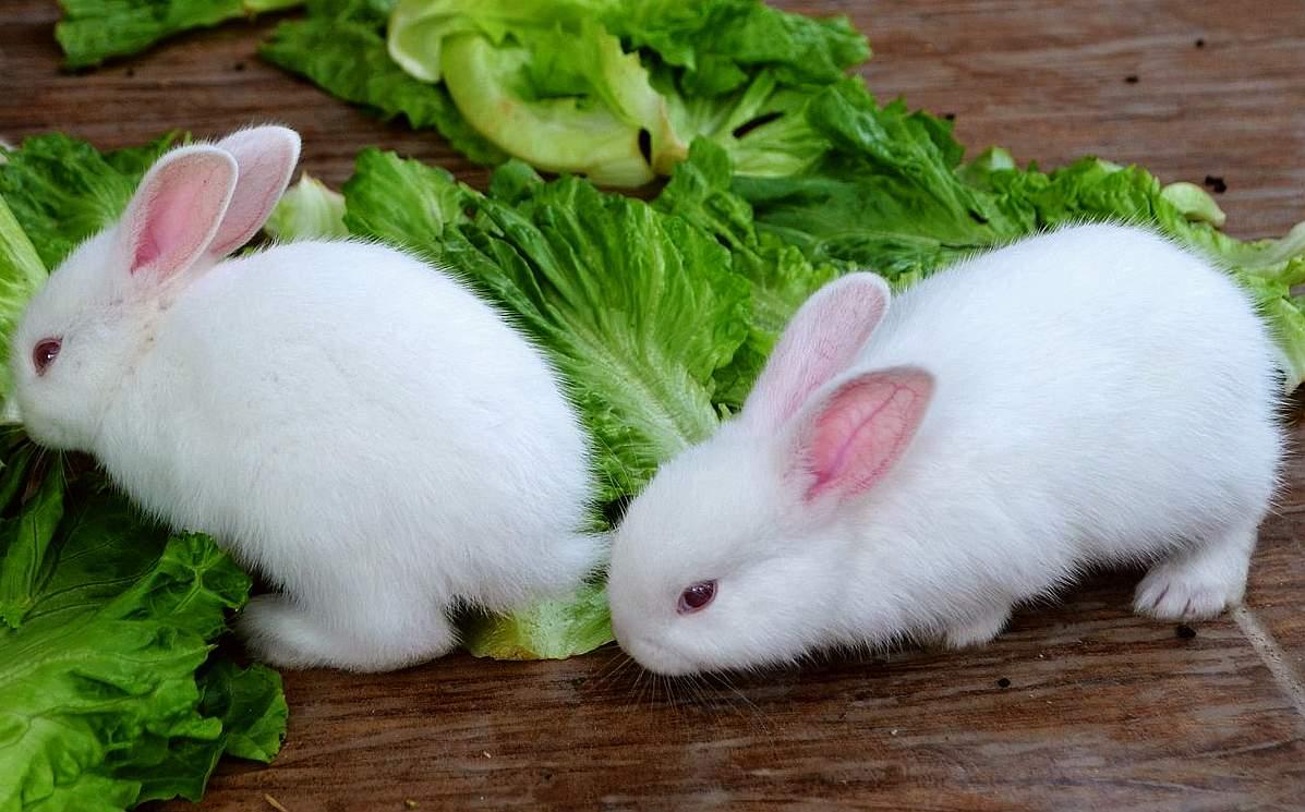 小白兔,白又白,两只耳朵竖起来.爱吃萝卜和青菜,蹦蹦跳跳真可爱.