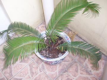 想用铁树换盆,土或其它