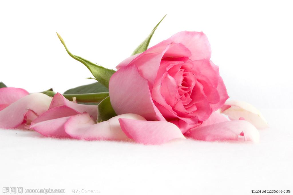 各色花的由来——粉玫瑰