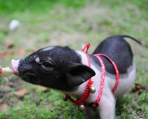 正品纯种小香猪,可爱迷你宠物猪,健康活泼,499元