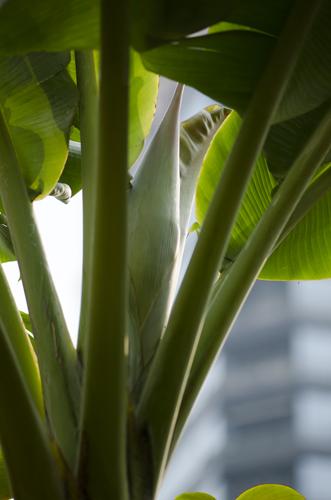 另一棵米蕉树要