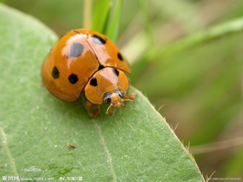 活动场所 七星瓢虫在不同季节的活动场所不一样。冬天,七星瓢虫在小麦和油菜的根茎间越冬,也有的在向阳的土块、土缝中过冬。春天,一旦气温升到10以上,越冬的七星瓢虫就苏醒过来,开始活动,在麦类和油菜植物株上能找到它。夏天,随着气温升高和食物增多,七星瓢虫大量繁殖,凡是有蚜虫和蚧虫寄生的植物,如棉花、柳树、槐树、榆树、豆类等植株上,都能找到七星瓢虫,有时甚至出现大批七星瓢虫聚集的景象。秋天,田间七星瓢虫的数量减少,它常在玉米、萝卜和白菜等处产卵,这时候,早晚的气温较低,七星瓢虫往往隐蔽起来,不易发现,需在上午7