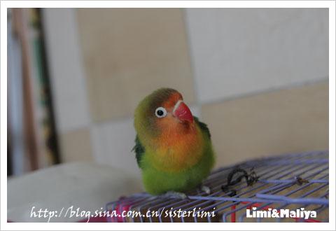 我家的小鹦鹉作文|我家的小鹦鹉作文700字